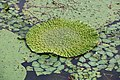 Junicho-Gata lagoon Euryale feroxe habitat 04.jpg