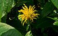 Justicia aurea acanthaceae.jpg