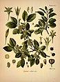 Köhler's Medizinal-Pflanzen in naturgetreuen Abbildungen mit kurz erläuterndem Texte (Plate 63) (7118329607).jpg