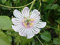 K.Pudur Village White Flower.jpg