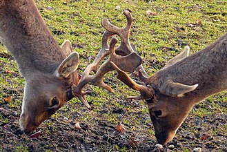 Antler - Male fallow deer fighting
