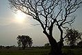 Kanchanaburi, Thailand, Acacia thorn tree in the field.jpg