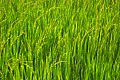 Kanchanaburi, Thailand, Asian rice (Oryza sativa) grass.jpg