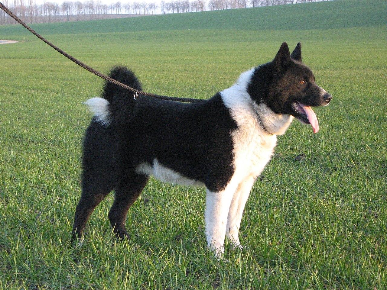 Carnelian Bear Dog