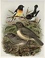 Keulemans, John Gerrard, 1842-1912 -South Island tomtit, myiomoira macrocephala. North Island tomtit, myiomoira toitoi. North Island robin, miro australia. South Island robin, miro albifrons. - J. G. (21479920808).jpg