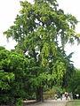 Kew Ginkgo.jpg