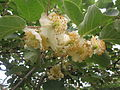 Kiwi blossom in Persia 2014.JPG