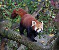 Kleiner Panda Ailurus fulgens Tierpark Hellabrunn-1.jpg