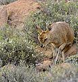 Klipspringer (Oreotragus oreotragus) female browsing ... (32405001270).jpg
