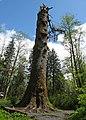 Klootchy Creek Sitka Spruce Giant.jpg
