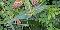 Knautia arvensis in Haute-Savoie (2).jpg