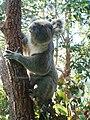 Koala 7.jpg
