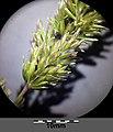 Koeleria macrantha sl18.jpg