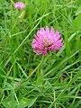 Koniczyna lakowa (Trifolium pratense).JPG
