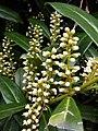Korina 2011-04-05 Prunus laurocerasus.jpg