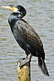 Kormoran (Phalacrocorax carbo) 01,.jpg