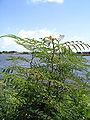 Kourou bois chaudat lake mimosa pudica.jpg