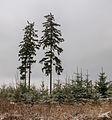 Krenkeltal Rothaarsteig in Sauerland. eenzame naaldbomen tussen jonge aanplant 03.jpg