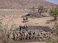 Kudu (Tragelaphus strepsiceros) (8603184699).jpg