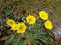 Květina v Roháčích.jpg