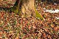 Kvetoucí sněženky v PP Sněženky ve Vysokém lese 17.jpg