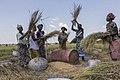 La récolte du riz.jpg