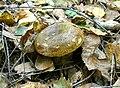 Lactarius necator1.jpg