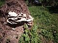 Laetiporus sulphureus gljiva (5).jpg