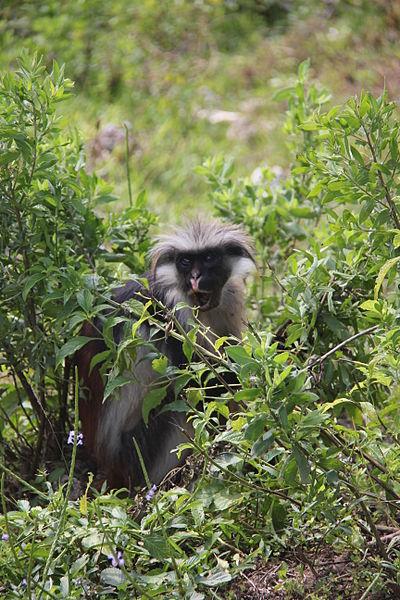 File:Laika ac Red Colobus Monkey (9727701630).jpg