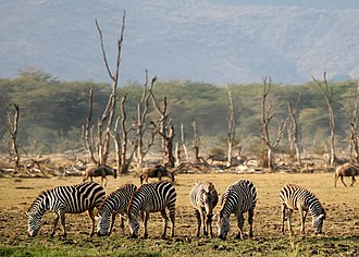Lake Manyara National Park - Plains zebras in Lake Manyara National Park
