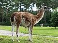 Lama guanicoe - Serengeti-Park Hodenhagen 2017 01.jpg