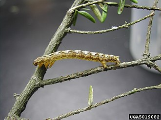 Lambdina fiscellaria - Image: Lambdina fiscellaria fiscellaria larva