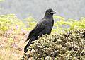Large-billed Crow Corvus macrorhynchos japonensis by Dr. Raju Kasambe DSCN4907 (14).jpg