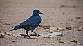 Large billed Crow at IIT Delhi.jpg