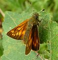 Large skipper. - Flickr - gailhampshire.jpg