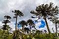 Las araucarias esperando la lluvia.jpg