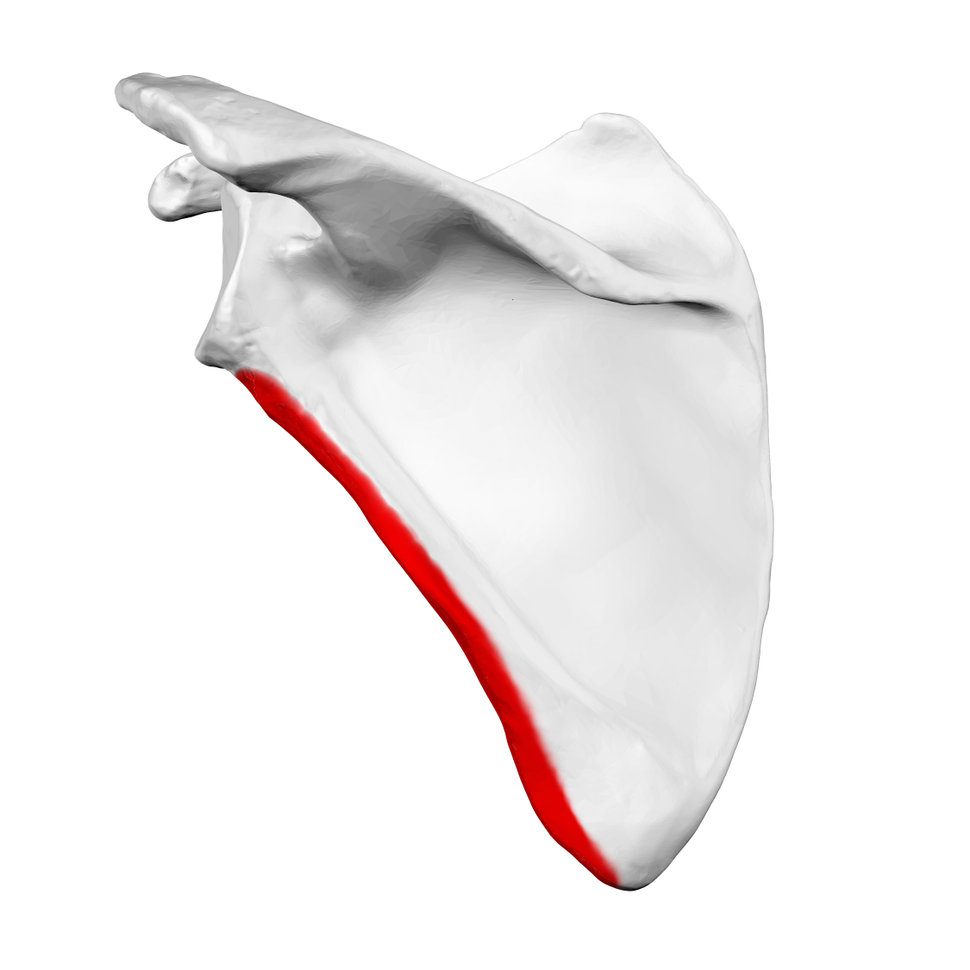 Lateral border of left scapula01