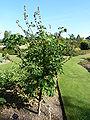 Lavatera arborea 'Tree Mallow' (Malvaceae) plant.JPG