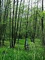 Leśne mokradła - panoramio.jpg