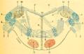 Le corps trapézoïde.png