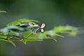 Leaves, Japanese Maple ^ Seed - Flickr - nekonomania.jpg