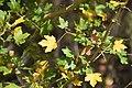 Leaves of Acer campestre 01.jpg