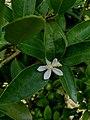 Lemon flower north-indian.jpg
