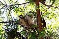 Lemurien 1023a.JPG