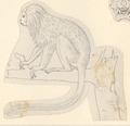 Leontopithecus rosalia - 1788-1863 - Print - Iconographia Zoologica - Special Collections University of Amsterdam - UBA01 IZA1000472.tif