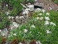 Leontopodium stracheyi-Jardin d'altitude du Haut-Chitelet (4).JPG