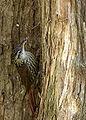 Lepidocolaptes falcinellus.jpg