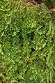 Lepidozia reptans 150308.jpg