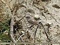 Lesser Whitethroat (Sylvia curruca) (31285667214).jpg