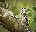 Lesser spotted woodpecker (50274168577).jpg